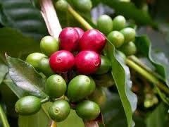 drupe ou cerise de café vert